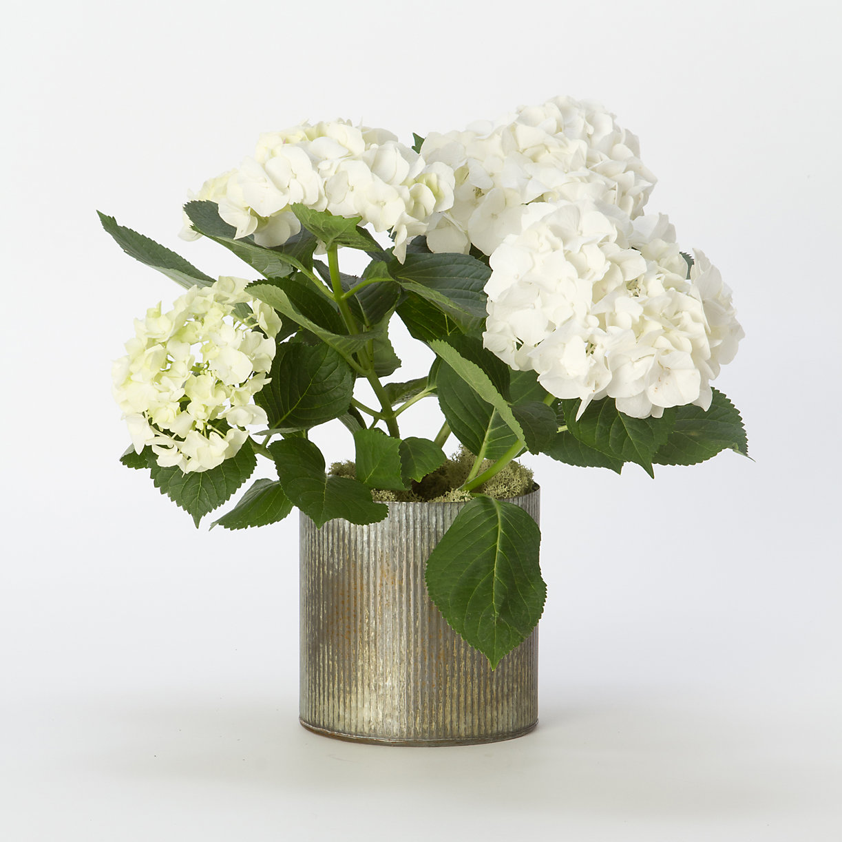 White Hydrangea House Plant Send Gifts To Jordan